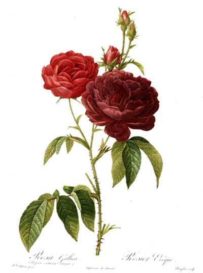 Rosa gallica purpuro violacea magna by Redoute