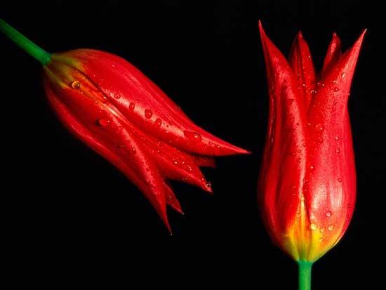 Tulips-BEST