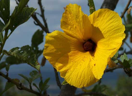 Flower-Hibiscus-Heterophyllus
