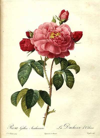 Redoute's Rosa Gallica
