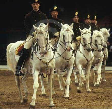 Spanish-Riding-School-Lippizaners