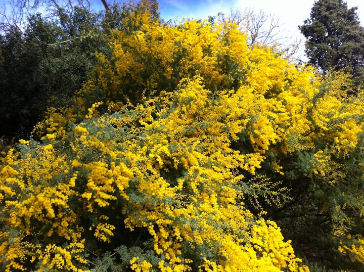 Ravishing Wattle in Bloom
