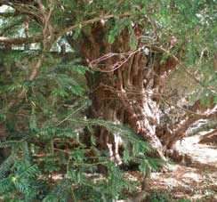 Ancient Yew Trees – Natural Architecture