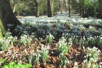 Snowdrops in the dell, Painswick Garden, the Cotswolds