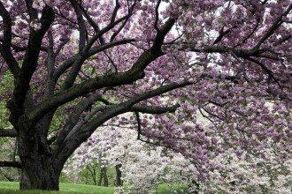 Flowering Cherry Tree, Spring in the New York Botanical Garden