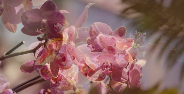 Ravishing Pink Orchids
