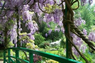 Wisteria-BEST-Giverny