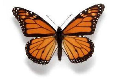 Wanderer Butterfly, Danaus plexippus Photographer: Alan Henderson, courtesy Museum Victoria