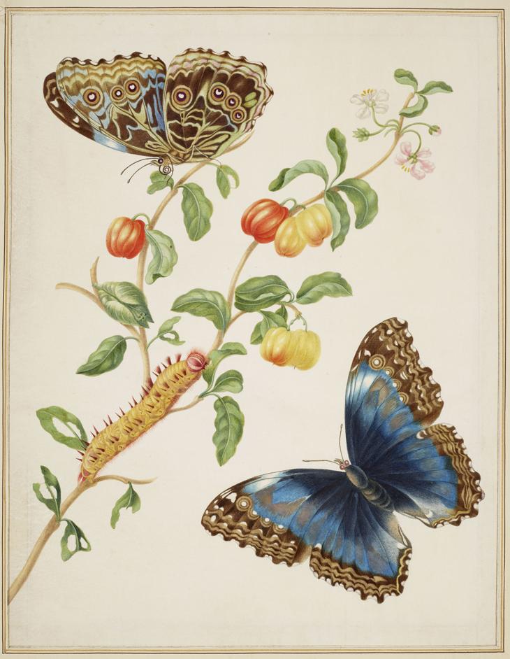 Maria Merian's Butterflies – On Display, The Queen's Gallery